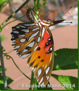 Gulf Fritillary laying eggs for book