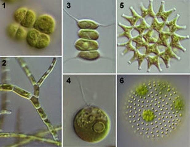 Chlorophyceae