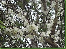 Jaboticabeira em flor 12 out 2011 001