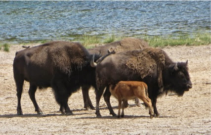 BisonSightings-12-2014-07-30-21-17.jpg