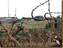 Подвязка винограда 2