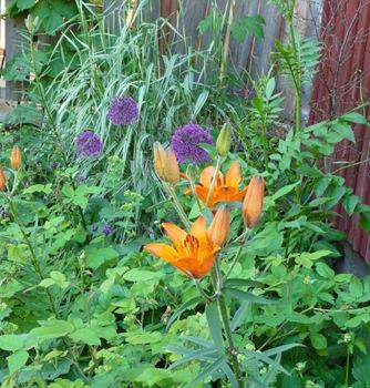 002 korr Lilium bulbiferum Allium aflatunense Daniel Grankvist