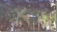 Alligator we startled