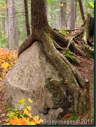 roots on rocks1018