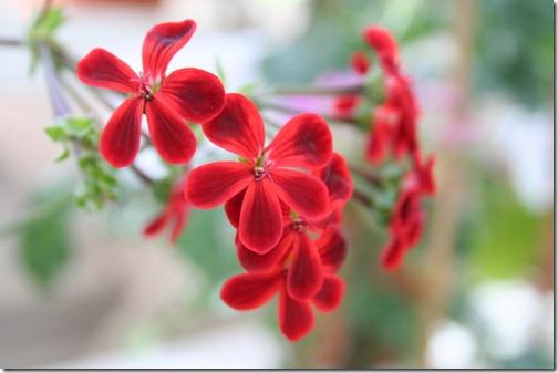 Ardens Pelargonium-hybrid