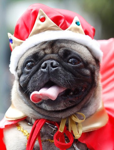 Мопс в костюме короля