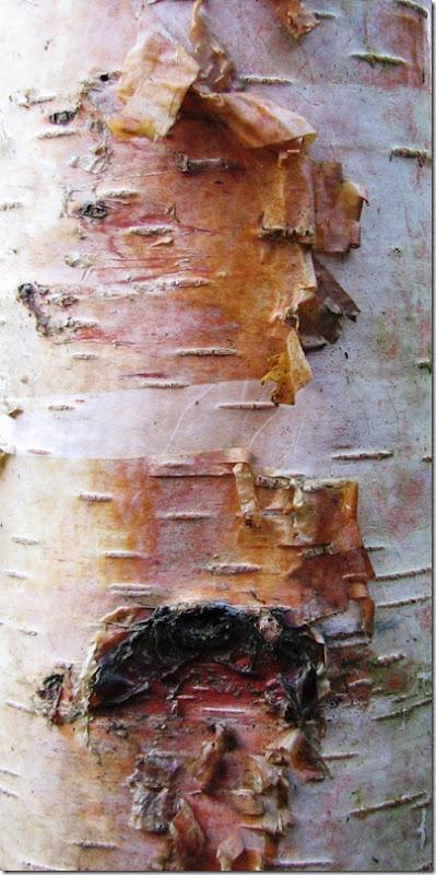 20130214 Metre birch bark