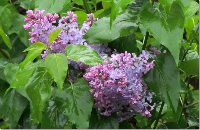 violett 5