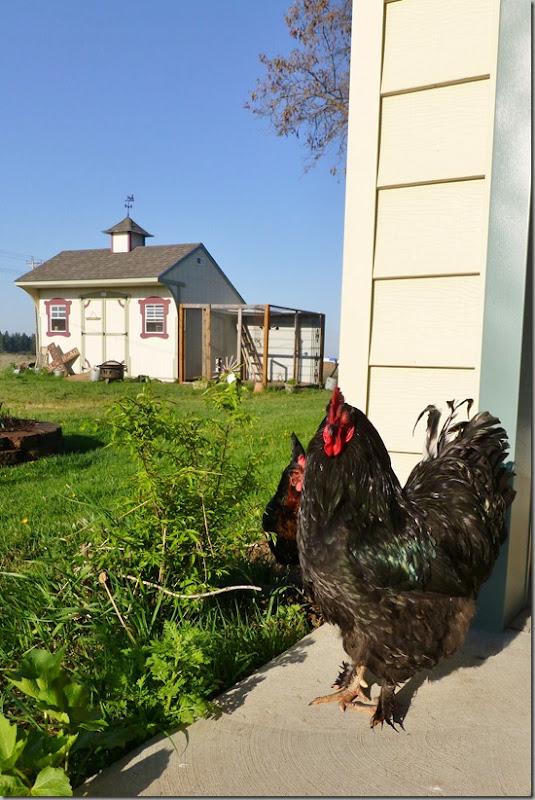 chickens 036