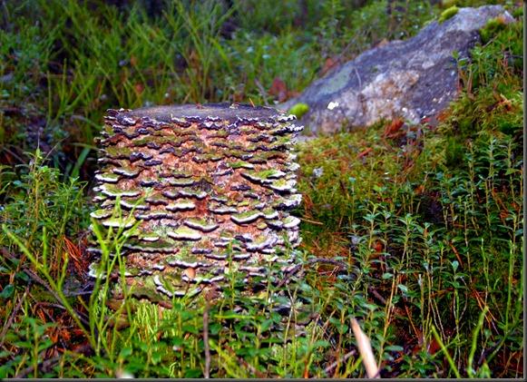 suomalainen syys metsä suppilovahvero 032