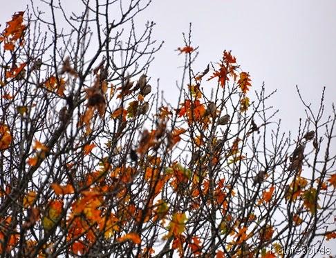 5a. juvenile cedar waxwings-kab