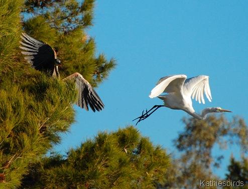 7. heron chasing egret-kab