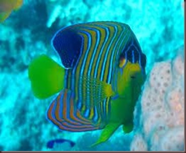 Amazing Pictures of Animals, photo Nature, exotic, funny, incredibel Zoo, Regal angelfish, Alex (11)
