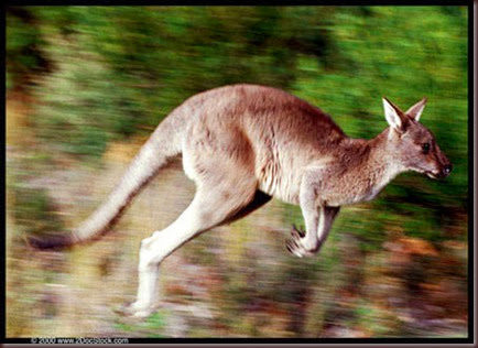 Amazing Animal Pictures Kangaroo (12)