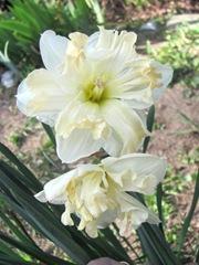 daffodil frilled 3