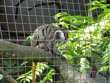 2014.07.19-030 tamarin empereur