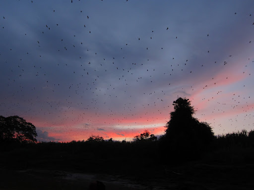 Thousands of flying foxes taking to the skies.