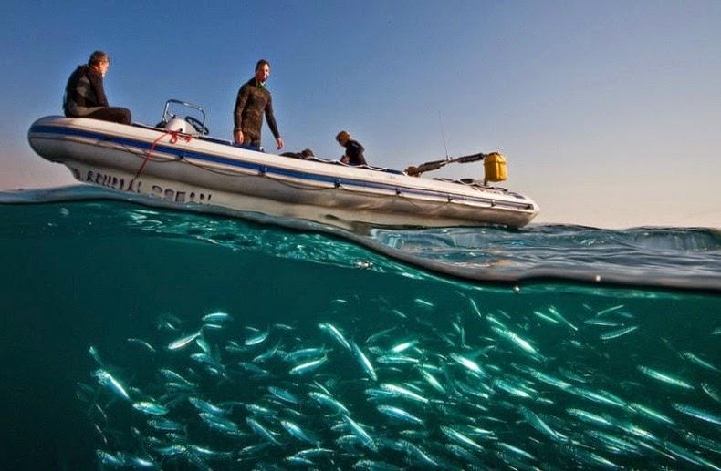 sardines-run-4