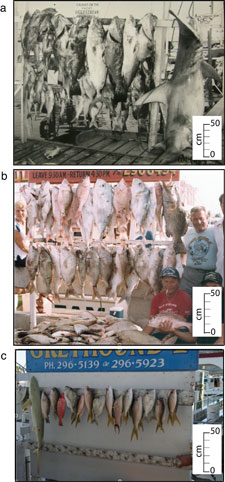 Trophy fish caught on Key West charter boats: a) 1957, b) early 1980s and c) 2007. These archival photographs spanning more than five decades document a drastic decline of 'trophy fish' caught around coral reefs surrounding Key West, Florida. Photo: Loren McClenachan