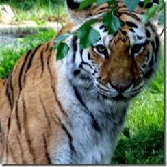 tiger-bronx-zoo%255B4%255D