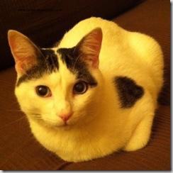 gatto fiv