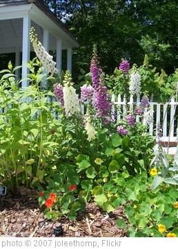 'Foxgloves in the Herb Garden' photo (c) 2007, joleethomp - license: http://creativecommons.org/licenses/by-nd/2.0/