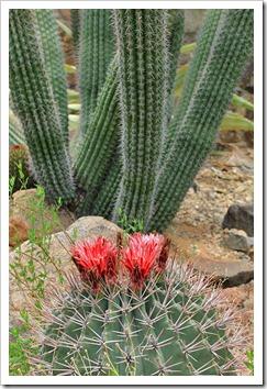 120728_ArizonaSonoraDesertMuseum_Ferocactus-emoryi- -Trichocereus-terscheckii_03