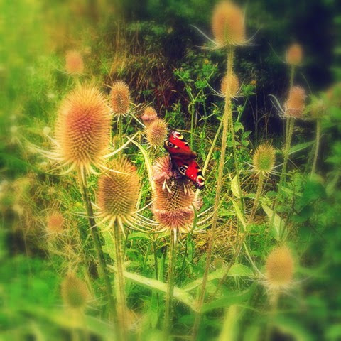 peacock butterfly on teasle