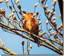 crossbill cannock chase april 2014