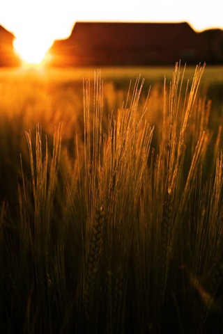 Summer-Barley-2
