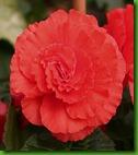 Begonia Dobrada Vermelha