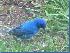 2014-05-22 Indigo Bunting in Mike's & Linda's backyard (4)