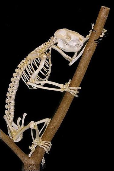 Koala_skeleton
