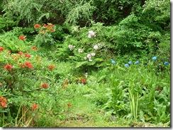 azaleas roddies and blue poppies