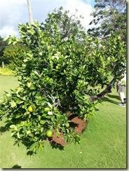 20131009_Orange tree (Small)