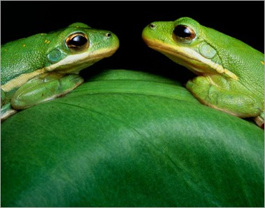 green-frogs-eastcott_1423_600x450 - copia