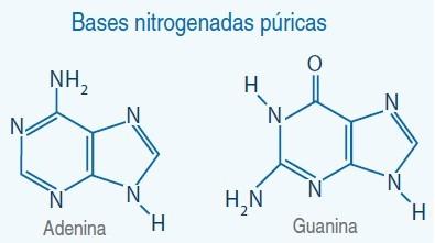 bases nitrogendas puricas