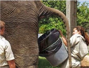 Coletora de cocô de elefante, todos os dias com um balde