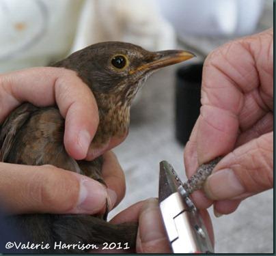 9 ringing blackbird