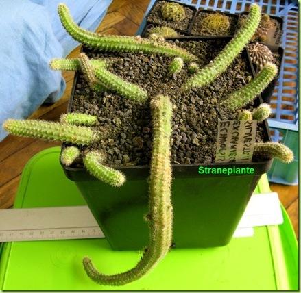 Echinopsis chamaecereus rinvaso 4-11