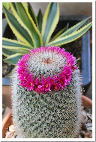 Succulents and more first wave of cactus flowers mightylinksfo Images
