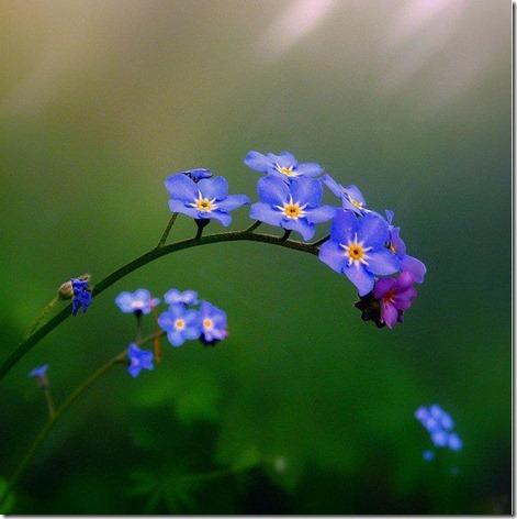 flores-facebook-tumblr-rosas-las flores-fotos de flores-746