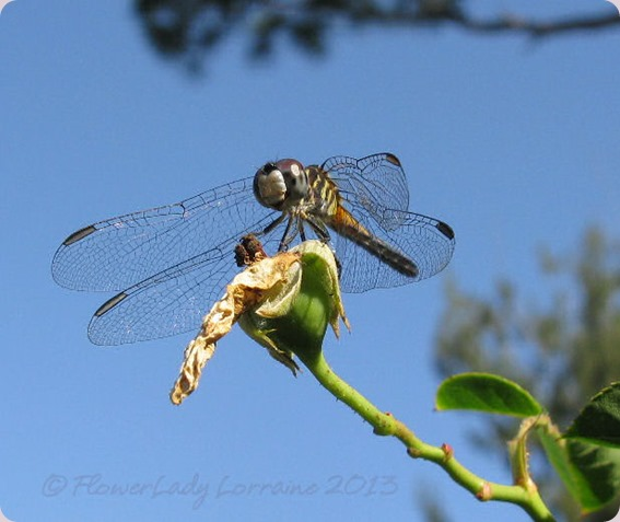 05-08-dragon-fly
