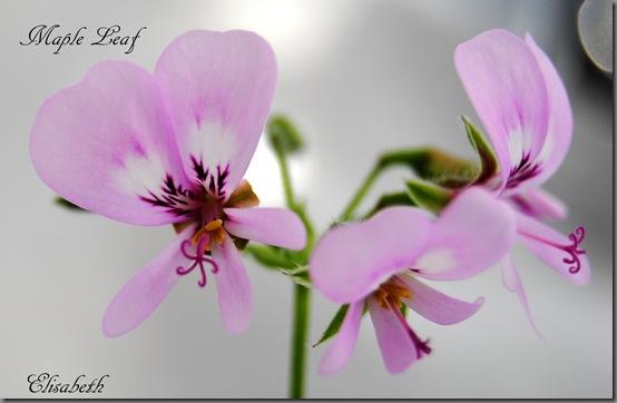 Pelargonium mars 2012 034