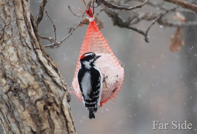 Downy Woodpecker on the suet in the snow April 5