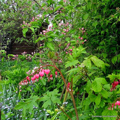 dicentra and apple blossom