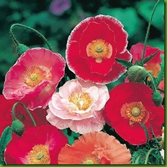 Poppies Double Shirley Mix