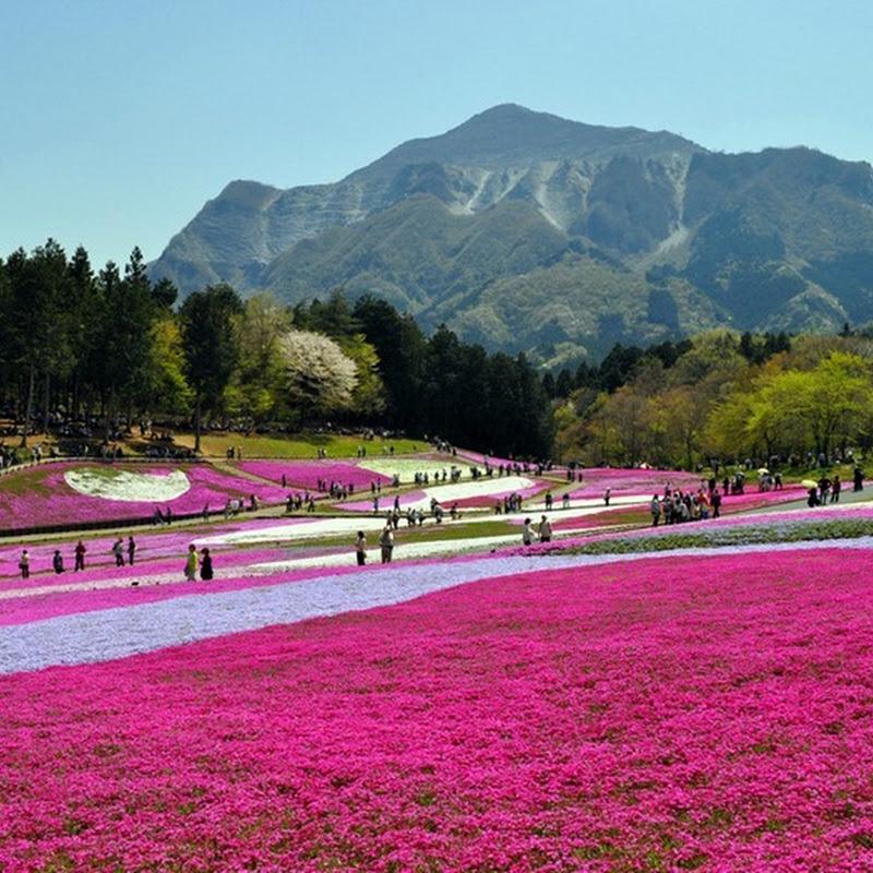 Moss Pink (Shibazakura) Blossoms at Hitsujiyama Park, Japan