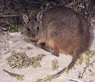 Amazing Pictures of Animals, Photo, Nature, Incredibel, Funny, Zoo, rufous hare-wallaby, (Lagorchestes hirsutus), Mammals, Alex (1)
