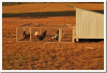 chickens in